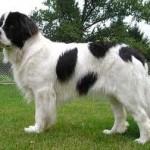 Novofundlandský pes (Newfoundland) 7