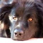 Novofundlandský pes (Newfoundland) 8