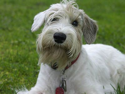 Sealyham Terrier Dog Breeds