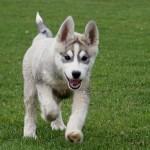 Sibiřský husky (Siberian Husky) 4