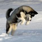 Sibiřský husky (Siberian Husky) 6