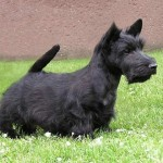 Skotský teriér (Scottish terrier) 1