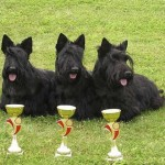Skotský teriér (Scottish terrier) 2