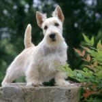 Skotský teriér (Scottish terrier) 3