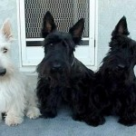 Skotský teriér (Scottish terrier) 4