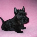 Skotský teriér (Scottish terrier) 5
