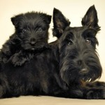 Skotský teriér (Scottish terrier) 6