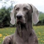Výmarský ohař (Weimaraner Vorsterhund)