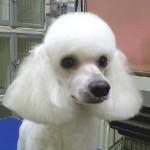 Pudl (Poodle, Caniche) 7