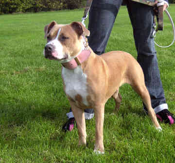 American Staffordshire Terrier Puppies For Sale In Australia Pictures ...