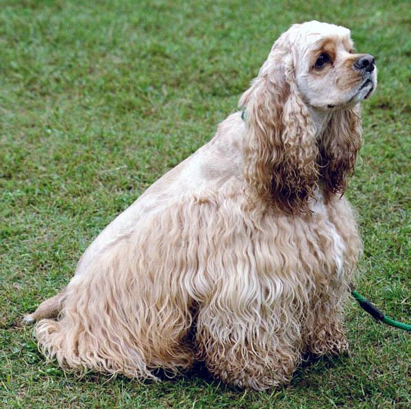 Americký kokršpaněl - Plemena psů 3522f79a05