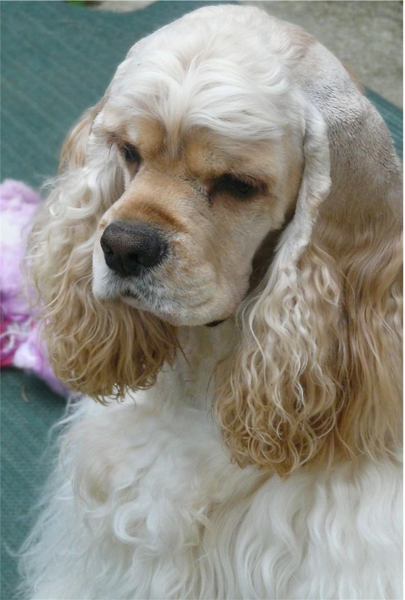 Americký kokršpaněl je vyrovnaný pes aae31b1c85