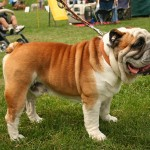 Anglický buldok (English Bulldog)-1