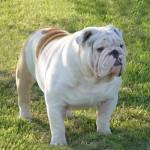 Anglický buldok (English Bulldog)-3