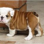 Anglický buldok (English Bulldog)-5