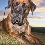 Anglický mastif (English Mastiff)-3