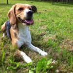 Bígl (Beagle)