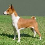 Basenji (Congo Dog)-2