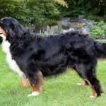 Bernský salašnický pes (Berner Sennenhund)-1