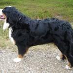 Bernský salašnický pes (Berner Sennenhund)