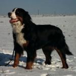 Bernský salašnický pes (Berner Sennenhund)-2