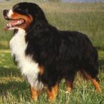 Bernský salašnický pes (Berner Sennenhund)-4