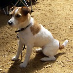 Jack Russelův teriér (Jack Russell Terrier)